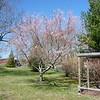 Opa's tree blooming