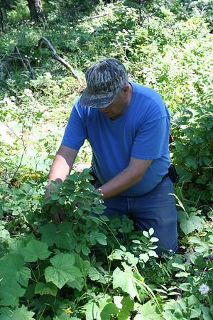 Picking Huckleberries Spades Mt