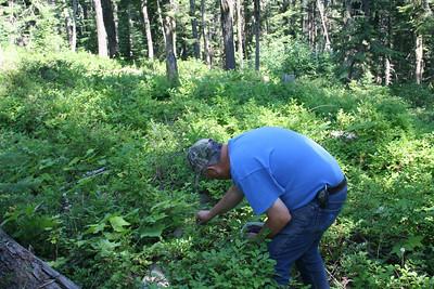 Picking Huckleberries on Spades Mt