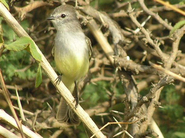 Northern Scrub Flycatcher, photo by Jerry Ligon