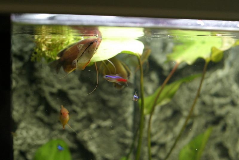 Feeding frenzy. A Gourami and a tetra