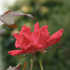 May 20 2014 Red Rose