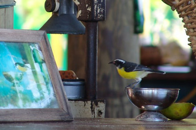 This was taken on a sunny afternoon when we were enjoying our lunch at Sorobon. I saw this bananaquit sitting on the bar looking to a picture of the past.  Photo by Frank Bierings