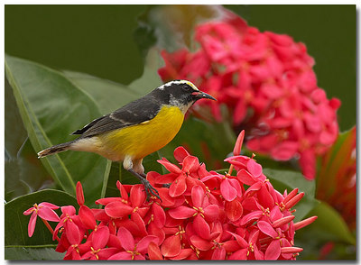 Bananaquit necturing on Ixora  By Jerry Ligon