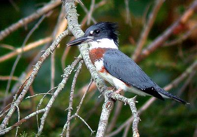 Belted Kingfisher, Bandijsvogel, Ceryle alcyon