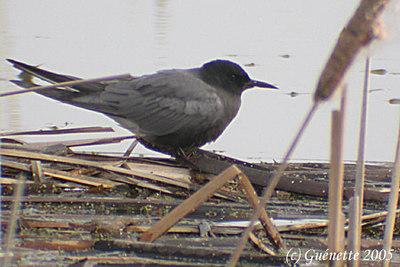 Black Tern, Zwarte Stern, Chlidonias niger