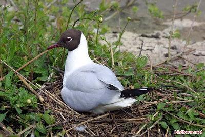 Black-headed Gull, Kokmeeuw, Larus ridibundus