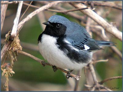Black-throated Bleu Warbler, Blauwe zwartkeelzanger Dendroicacaerulescens