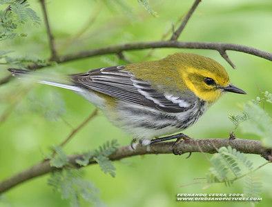 Black-throated Green Warbler, Gele Zwartkeelzanger, Dendroica virens