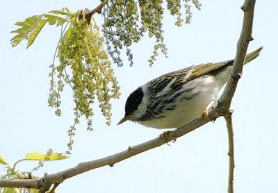 Blackpoll Warbler, Witwangzanger, Dendroica striata