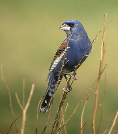 Blue Grosbeak, Blauwe Bisschop, Passerina caerulea