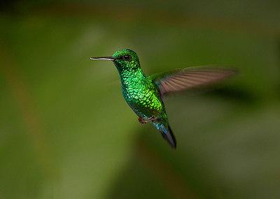 Blue-tailed Emerald, Common Emerald, Blauwstaart-smaragdkolibrie, Chlorostilbon mellisugus