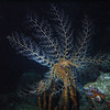 Basket Star (night dive)