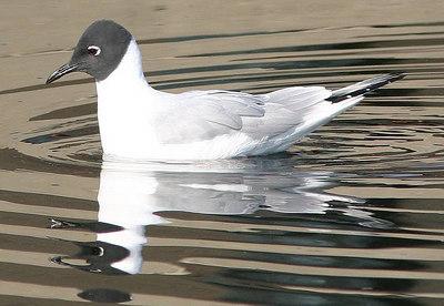 Bonaparte's Gull, Kleine Kokmeeuw, Larus philadelphia