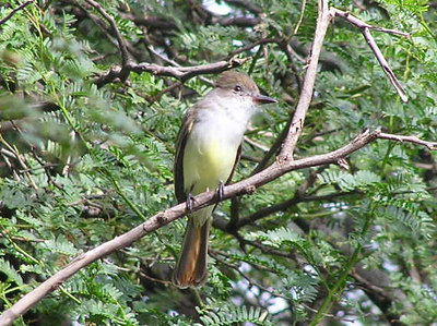 Brown-crested Flycatcher, photo by Jerry Ligon