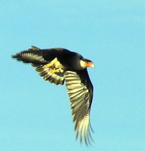 Crested Caracara in flight, photo by Jerry Ligon
