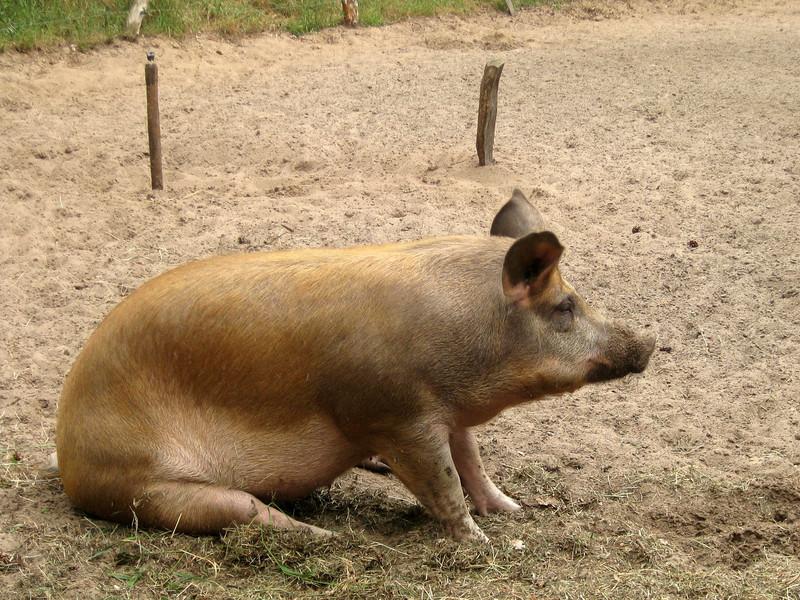 Panhof varkens