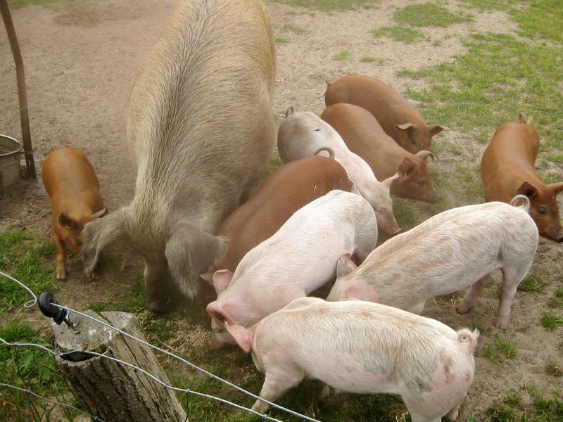 Panhof varkens en biggetjes