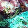 Eel; Fimbriated moray eel