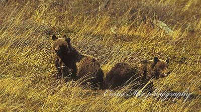 Grizzly cubs. We saw the sow and these two cubs about a quarter of a mile away. We watched them walk down the hill, cross the stream, then walk up the hill so close to us that we had to move. We took this picture after they crossed the road we were on.