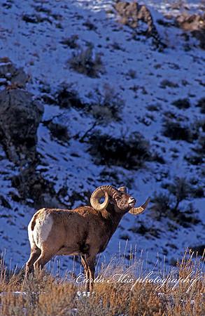 Bighorn contrast.