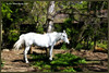 "Another one of my favorite results.  In this photo, the horse stands out nicely from the surroundings.  The mask around the horse was constructed from a copy of  the green channel layer that had been contrast enhanced.  The channel mask was created by brute force with the pen tool and a brush set to overlay mode.  After masking, the foliage part of the photo was taken into PhotoEffects and a ""Deep Forrest"" glow filter added.  The horse was taken into PhotoEffects and three filters added, but unfortunately I don't remember which ones I used."