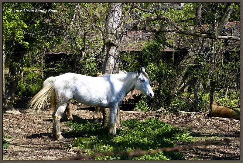 Original version of a photo taken on a farm near Pigeon Forge, Tenn.  Decent sharpness, but the dang horse refused to look at Ali while she was taking the photo.  Nice composition, but the horse doesn't really stand out from the foliage around it.