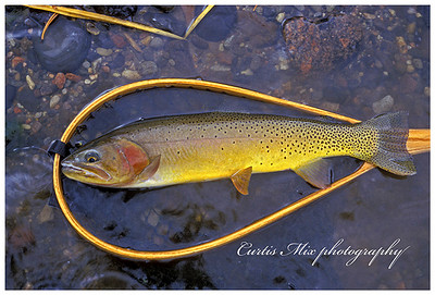 Slough creek gold. Yellowstone cutthroat.