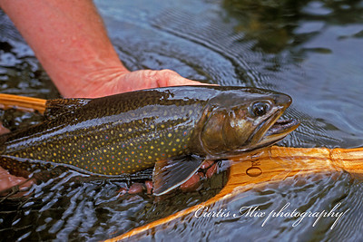 Nice Brook trout.