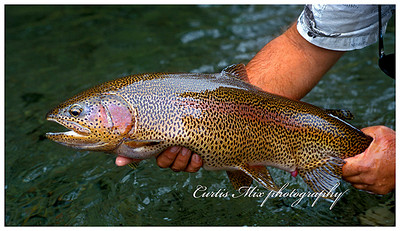 This is an Oregon red band rainbow trout. It resembles an Alaskan leopard rainbow.