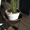 Over wintered, repotted rosemary enjoying it's new home in the sun.