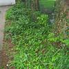 Hostas and Ground Ivy