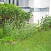 Coreopsis, Sedum, Catmint, Peony, Beebalm and Siberian Iris