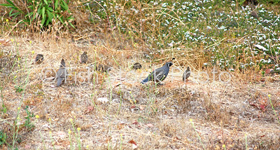 California Quail with Chicks