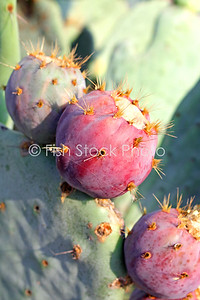 Prickly Pear, Cactus Fruit