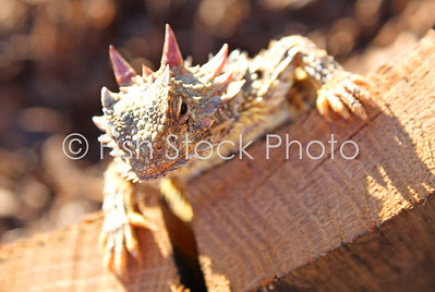 Horned Lizard (Phrynosoma blainvillii) - Blainville's Horned Lizard (Coast Horned Lizard)