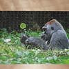 Silverback Gorilla, Congo Basin, Africa