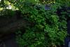 Poison Oak<br> http://en.wikipedia.org/wiki/Toxicodendron_diversilobum