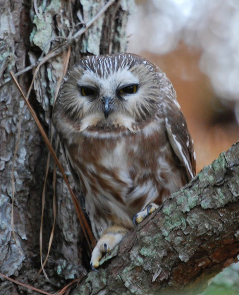 This homely looking character (sorry for the editorial opinion) is a member of the Northern Saw-whet Owl clan.  Our thanks to Jeff Birek of the Rocky Mountain Bird Observatory for sharing this photograph.