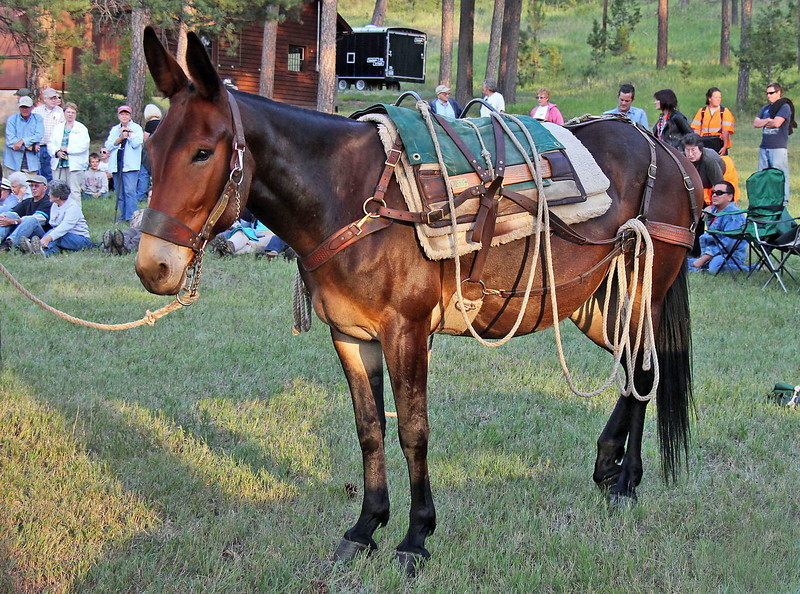 "Our primary topic this month:  mules!  As most good Moon Walks tend to do, it created quite a bit of interest in the topic.  We found a wealth of on-line information about mules, including some fascinating <a href=""http://youtu.be/0JsG2zT071I"">  <b><i>historic videos</i></b></a> of their use during the Spanish-American War."