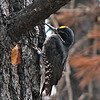 The male Black-backed Woodpecker displays a yellow cap.  The scientific name for this bird is <i>picoides arcticus.</i>  The bird drills nest holes in the sapwood of dead trees, usually in April and May.  The female lays three or four eggs, and both the male and female help with egg incubation, which Rota says goes on for about 11 days.