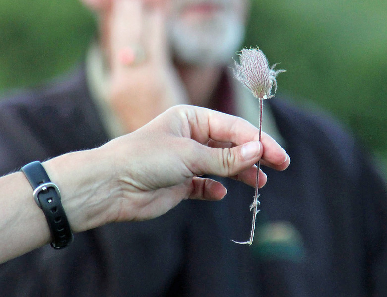 """Jill Larson holds a  Geum triflorum, or <b><i>prairie smoke</i></b>.  This specimen is past flowering and those are the plumed fruits, ready to disperse.  Click the image and choose """"O"""" Size to see the original close-up version."""