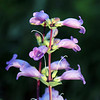 And this is...(drurm roll, please)...a Penstemon grandiflorus, known to us common folks as <b><i>large beardtongue</i></b> or <b><i>shell-leaf penstemon</i></b>.  Click on the image to choose a really nice close-up view.  NOTE:  Your photographer was busy taking pictures and wasn't able to identify this one.   Thanks to Jill Larson for coming to the rescue.