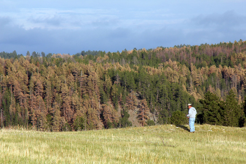 The Rocky Mountain Pine Beetle has left a wretched mark on much of the Black Hills.  This region west of Custer and Hill City has been hit much harder that in the far northern Hills, although we're seeing increased evidence of the critters.