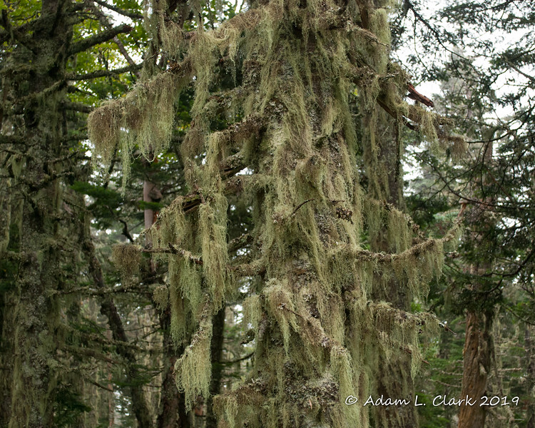 A closer look at the tree with old man's beard on it