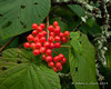 Hobblebush berries