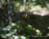 A spider hanging out on a web in a tree next to the trail
