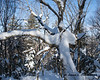 An interesting tree with snow built up on most of the limbs