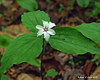 This Painted Trillium didn't read the guidebook to know that it should only have three petals, not nine