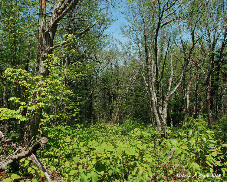 The woods next to the trail are very green right now